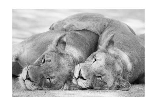 Foto op canvas 2 leeuwen 100x150cm