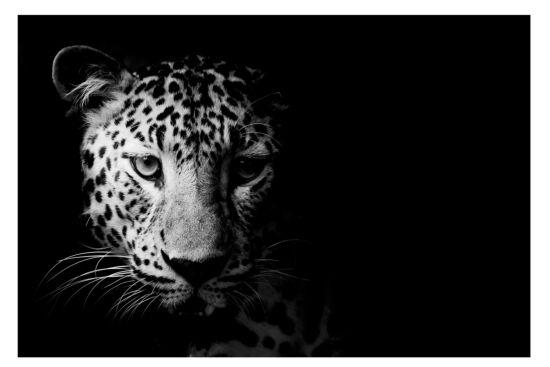 Print op canvas Leopard 100x150cm