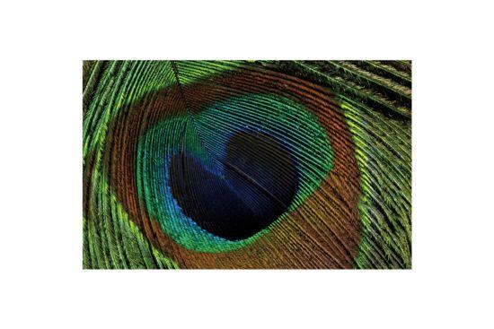 Print op canvas Peacock 70x110cm