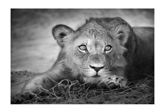 Foto op canvas Lioness 60x90cm