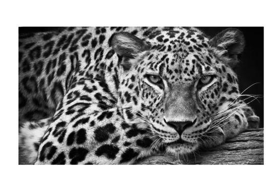 Foto op canvas Luipaard 100x150cm